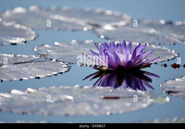 Blue water lily Nymphaea gigantea, beside gigantic water lilies, Victorien Victoria cruciana, syn. V. trickeri - Stock Image