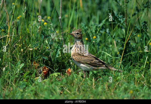 Skylark (Alauda arvensis), Lark family, young in nest - Stock Image