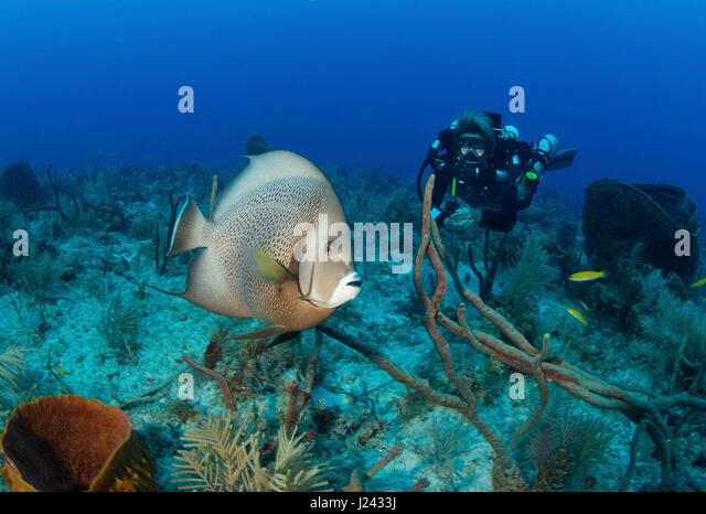 Diver on rebreather with angelfish. - Stock-Bilder