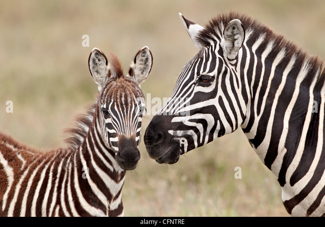 Common zebra or Burchell's zebra (Equus burchelli) foal and mare, Serengeti National Park, Tanzania, East Africa, - Stock Image