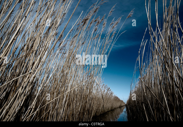 Norfolk Landscape  -reeds in winter sunshine - Stock Image