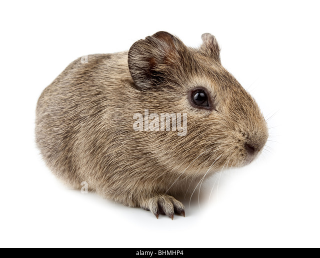 Guinea pig in studio against a white background. - Stock Image