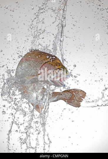 rainbow trout jumping - Stock Image