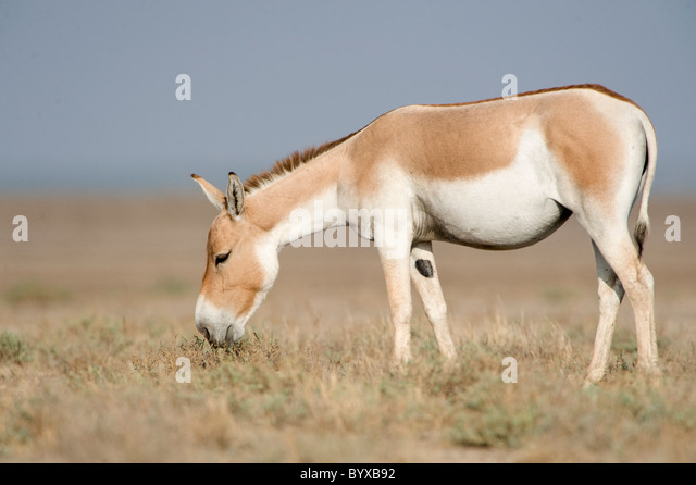 Indian wild ass Equus hemionus khur Rann Kutch - Stock Image