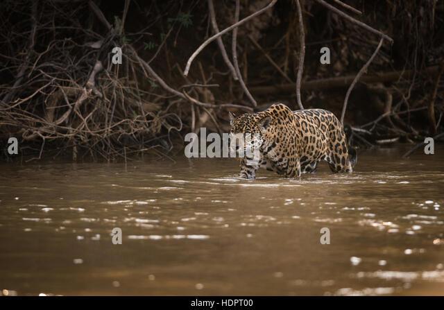 A Jaguar patrols a river shoreline, looking for prey - Stock Image