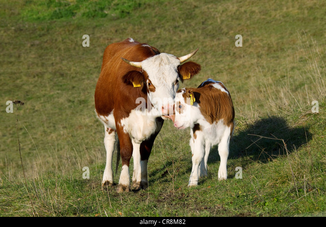 Cow and calf in field - Stock Image