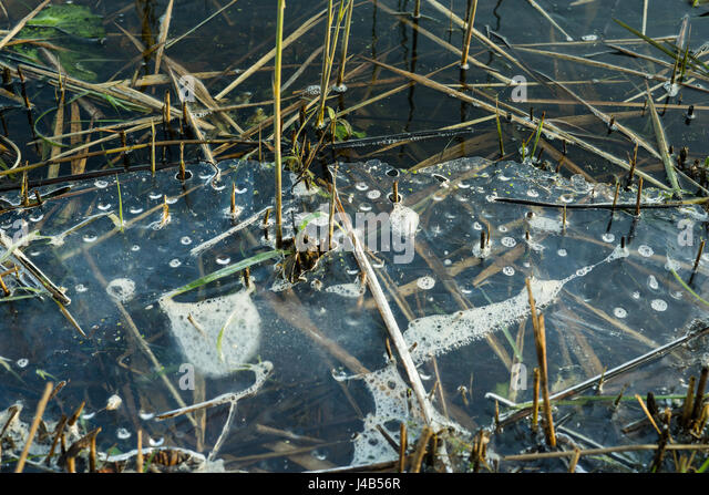 Melting ice on a lake with grass and reed in the late winter with ice on the cold water in the wintertime - Stock Image