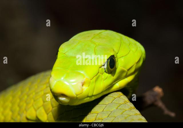 Eastern Green Mamba, Dendroaspis angusticeps, Kenya - Stock Image