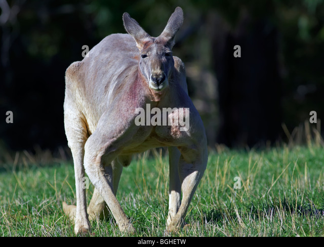 Male Gray Kangaroo - Stock Image