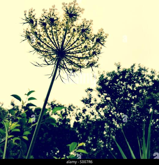 Queen Anne's Lace - Stock Image