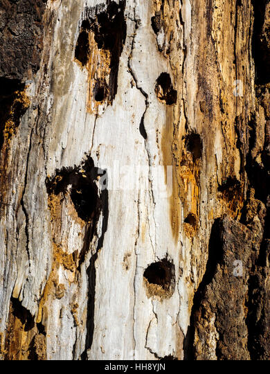 Foraging holes in a decayed fallen Giant Redwood trunk made by a wood pecker seeking insects and grubs. - Stock Image