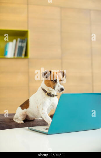 Dog working on laptop in office - Stock Image