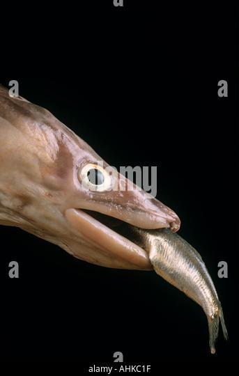 Big fish eating little fish - Stock Image