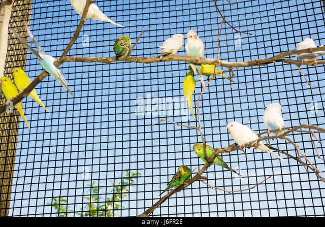 Tennessee Sevierville Rainforest AdventuresTropical Discovery Zoo Australian parakeet budgerigar outdoor cage aviary - Stock Image