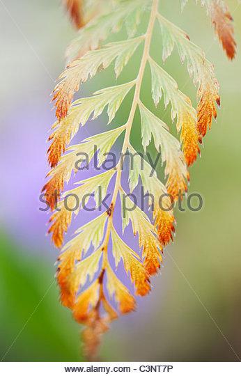 Polystichum Setiferum 'Pulcherrimum 'bevis'. Soft shield fern frond - Stock Image