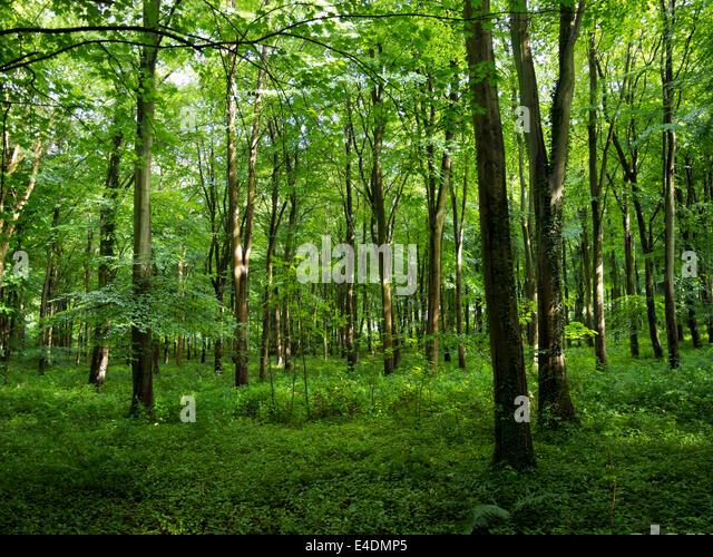 Beech trees in Eartham Wood, near Arundel, West Sussex, England, UK - Stock Image