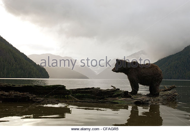 Grizzly Bear taking in the view, Great Bear Rainforest, British Columbia, Canada. - Stock Image