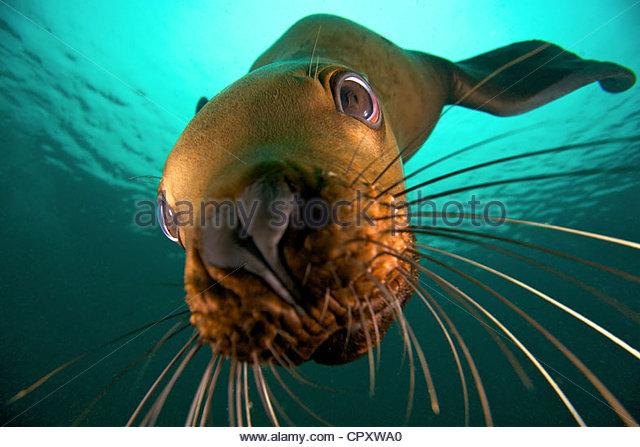 Canada, British Columbia, Hornby Island, Steller sea lion (Eumetopias jubatus) underwater - Stock Image