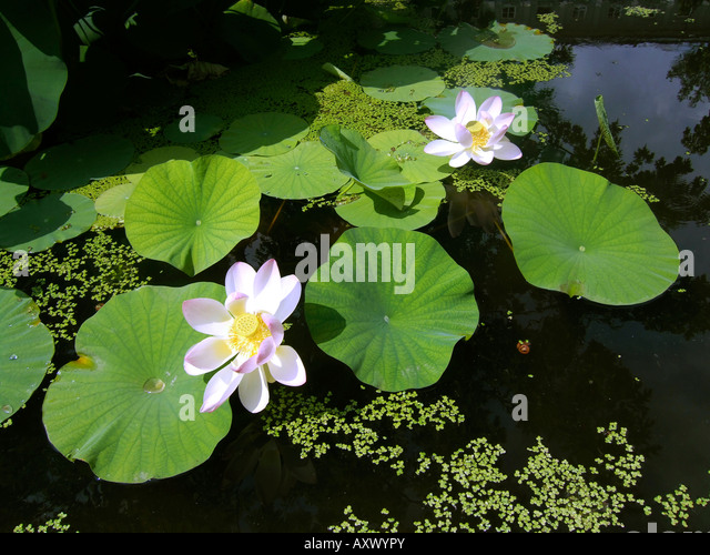 Switzerland Zuerich Lotus flower in the park of Ethnographic Museum of the University of Zuerich - Stock Image