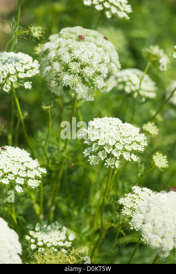 Carrot flowers - Stock Image