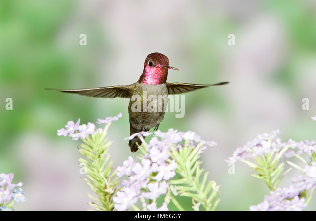 Anna's Hummingbird in Babylon Flowers - Stock-Bilder
