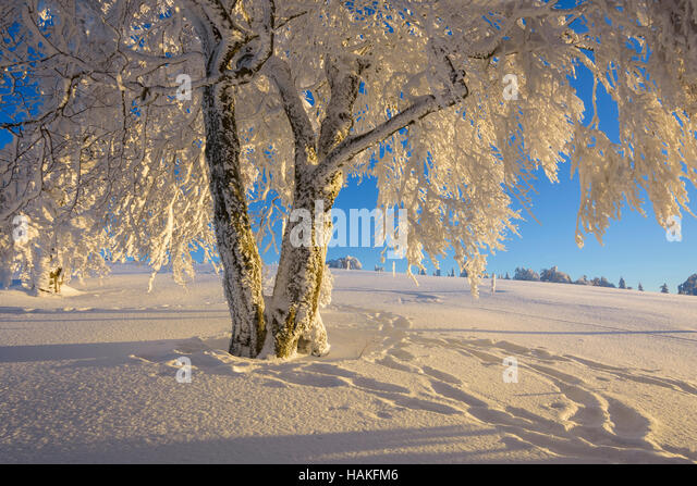 Snow Covered Beech Tree in Winter, Winbuche, Schauinsland, Black Forest, Freiburg im Breisgau, Baden Wurttemberg, - Stock Image