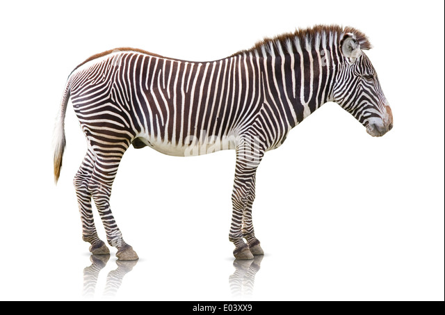 Side view of a Zebra isolated on white - Stock Image