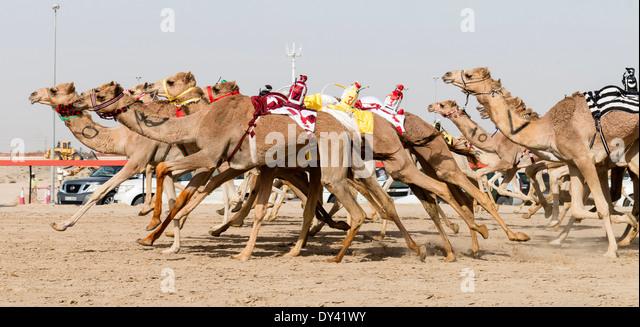 Camels racing at camel racing festival at Al Marmoum camel racing racetrack in Dubai United Arab Emirates - Stock Image