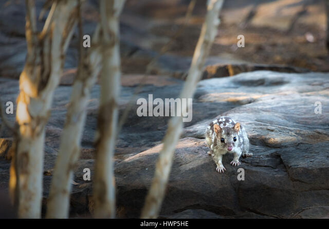 Northern Quoll - The Kimberley, Western Australia - Stock-Bilder