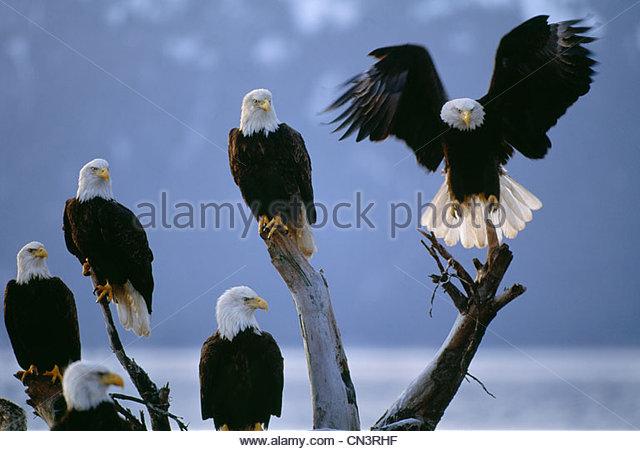 Bald eagles congregate on the beach along Homer Spit, Alaska. - Stock-Bilder