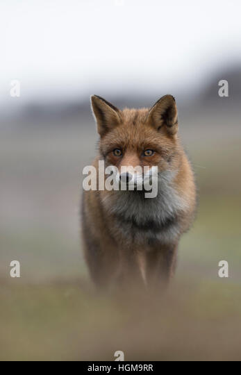 Red Fox / Rotfuchs ( Vulpes vulpes ) in winter fur, coming up a hill, frontal view, shot, soft light and colours. - Stock Image