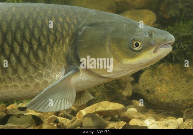 Grass carp stock photos grass carp stock images alamy for White amur fish