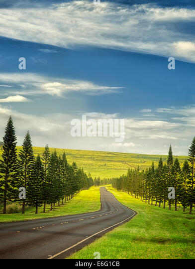 Main Road on Lanai lined with Cook Island Pines. Lanai, Hawaii - Stock Image