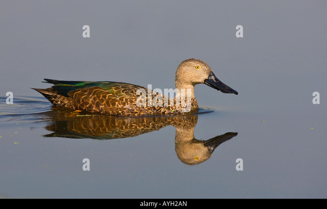 Cape Shoveler swimming in water, Marievale Bird Sanctuary, South Africa - Stock Image