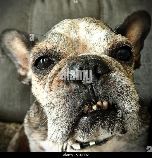 Close-up of the face of an old French bulldog. - Stock Image