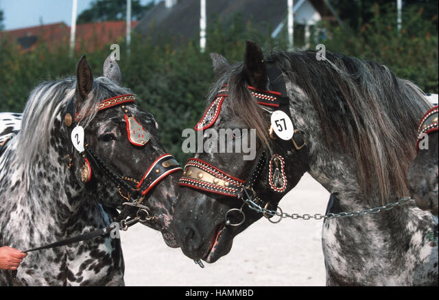 south german coldblood (heavy) Horse - Stock Image