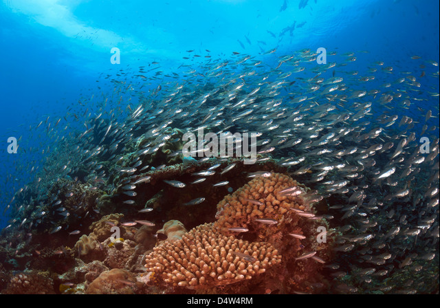Coral Reef with Reef Fish, Great Barrier Reef, Coral Sea, Pacific Ocean, Queensland, Australia - Stock Image