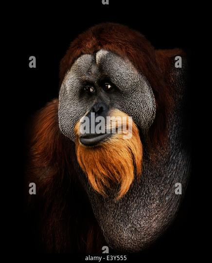 Orangutan Portrait On Black Background - Stock-Bilder