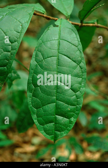 Leaf with strong venation in of Tropical Rain Forest Tai National Park Ivory Coast West Africa - Stock-Bilder