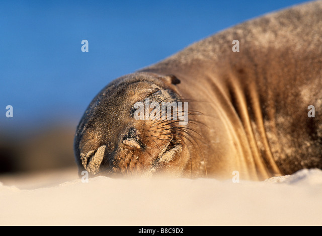 SEA LION sunbathing - Stock Image