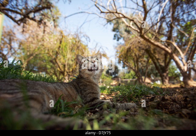 tawny tabby cat in the outdoors looks up at tree in grounds of the Cat House on the Kings in Parlier, California - Stock Image