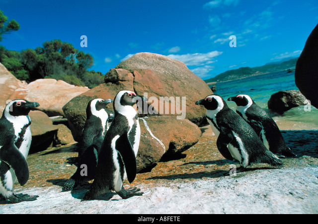 Jackass penguins at False Bay, Cape Town, South Africa - Stock Image