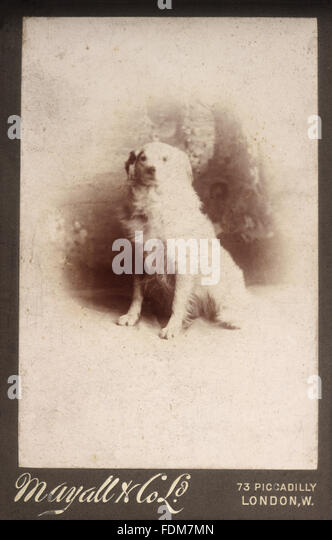An archive black and white photograph of one of Mrs Greville's dogs. Photographer: Mayall & Co, 73 Piccadilly, - Stock-Bilder