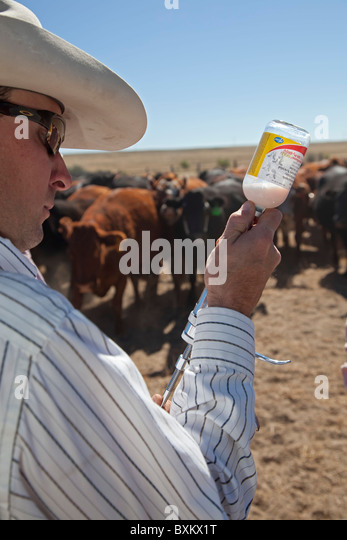 Calf Vaccination on Cattle Ranch - Stock Image