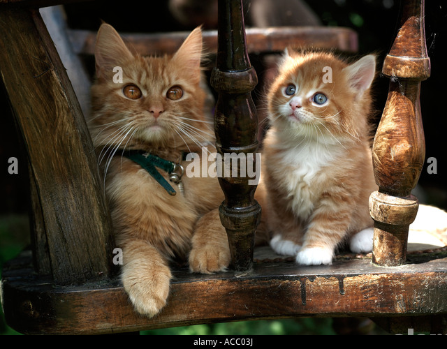 A small kitten and her mother sitting on a chair. - Stock Image
