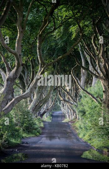 The Dark Hedges, County Antrim, Northern Ireland - Stock Image