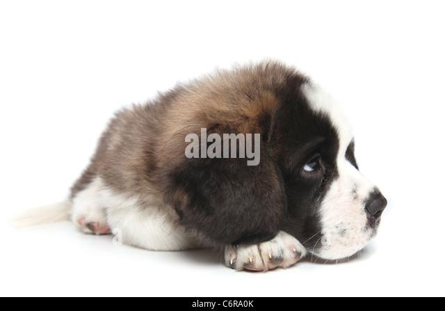 Adorable Saint Bernard Puppy Sheepishly Looking Sideways - Stock Image