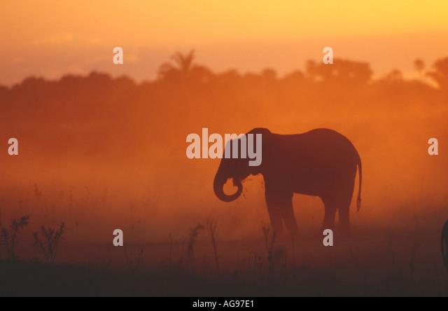 Elephant kicking up dust in Botswana - Stock Image