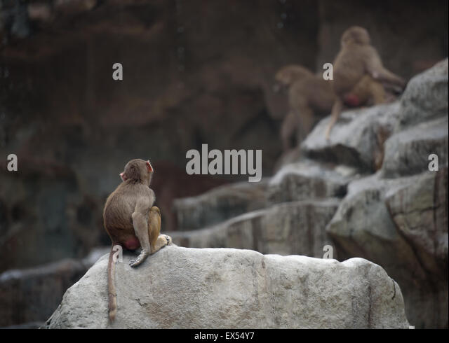 Baby monkey of Hamadryas baboon sitting in a sad and lonely pose - Stock Image