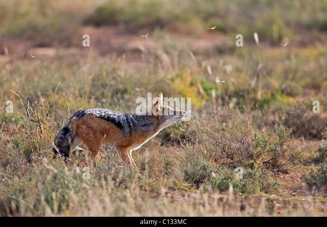 Jackal feeding, Mountain Zebra National Park, Eastern Cape Province, South Africa - Stock Image